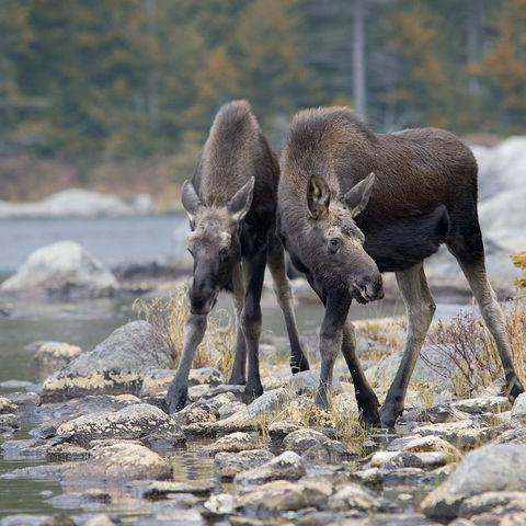 Zwei junge Elche am Ufer, Kanada