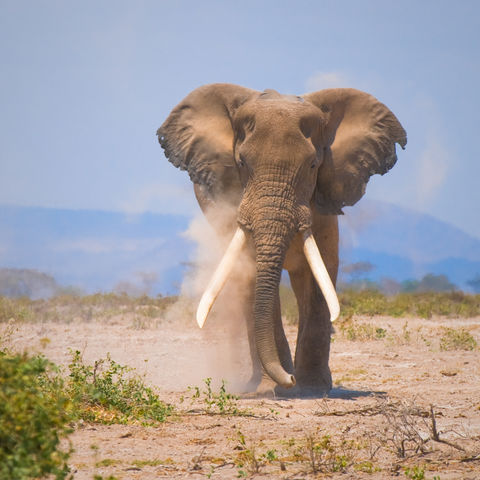Elefant im Amboseli-Nationalpark, Kenia