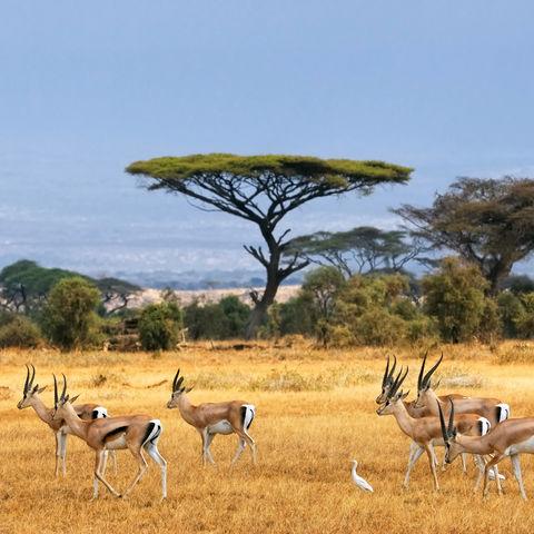 Gazellen im Amboseli-Nationalpark, Kenia