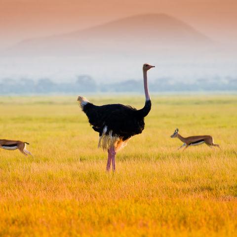 Wer sieht graziler aus? Strauß oder Antilopen, Amboseli Nationalpark, Kenia