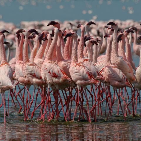 Flamingos auf Futtersuche, Kenia