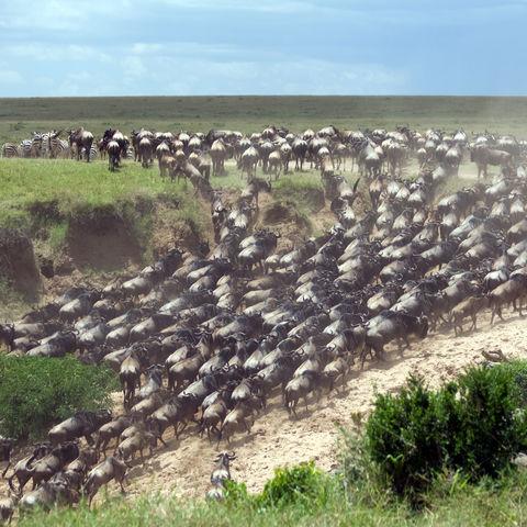 Gnuherde auf Wanderung, Kenia