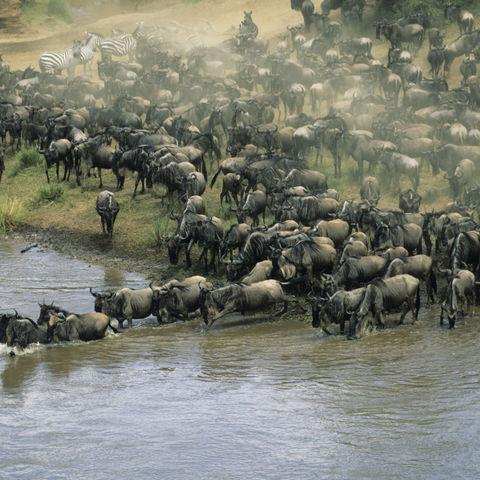 Gnuherde während der Migration, Kenia