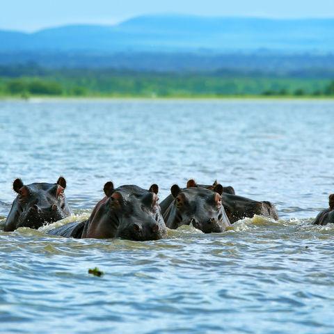 Flusspferde im Lake Naivasha, Kenia