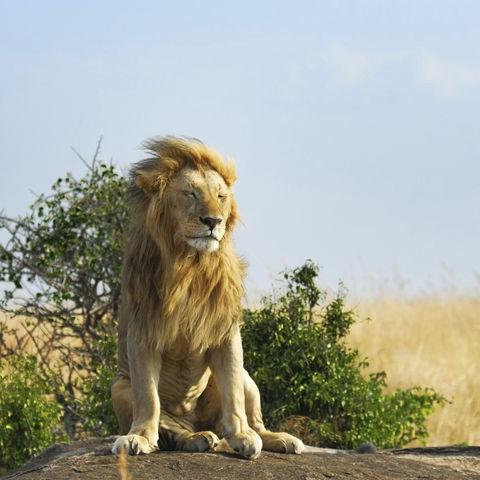 Löwe ruht sich in der Sonne aus, Kenia