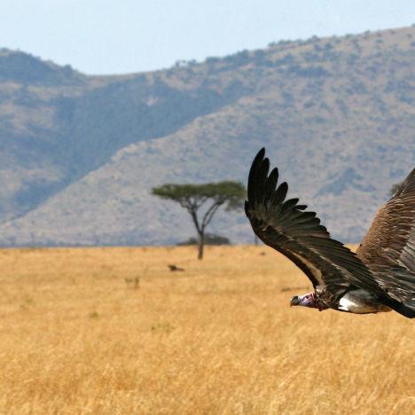 Geier über der Savanne, Kenia