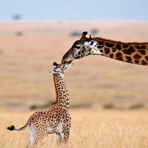 Giraffenmama küsst ihr Kleines, Masai Mara Nationalpark, Kenia