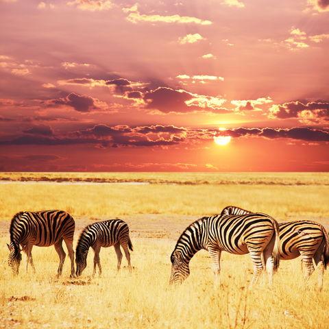 Bei Sonnenuntergang lässt es sich besonders gut grasen: Zebraherde in der Masai Mara, Kenia