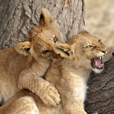 Ich hab dich zum Fressen gern: Zwei spielende Löwenbabys, Kenia