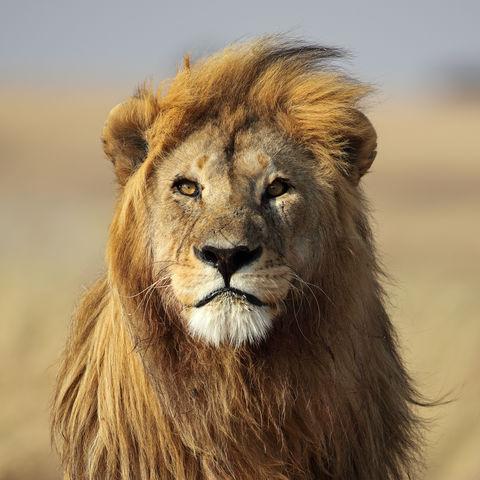 Löwe im Serengeti Nationalpark © Mogens Trolle, Dreamstime.com