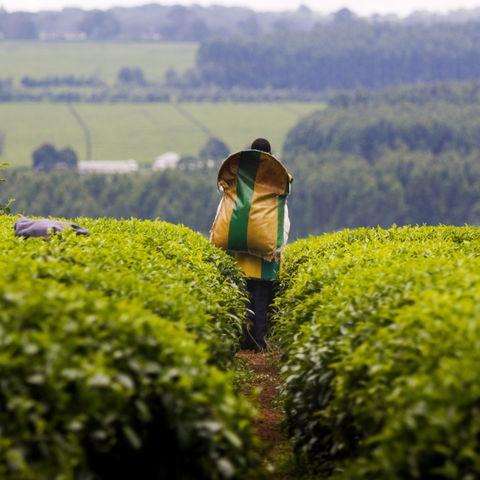 Auch in Kenia werden Teeblätter für die Teeherstellung gepflückt, Kenia