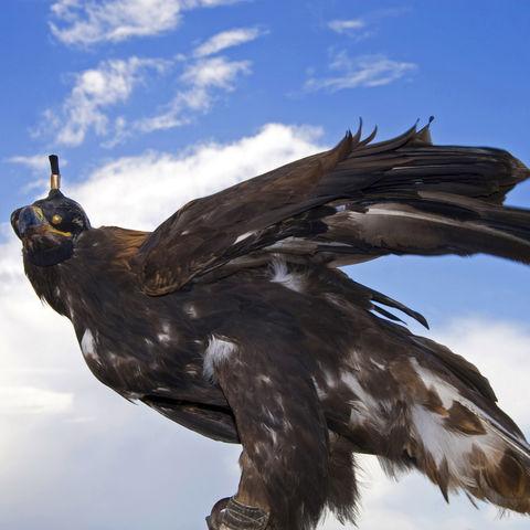 Majestätischer Adler, Kirgistan