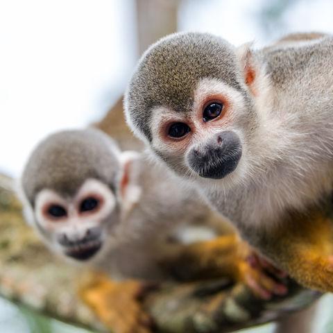 Totenkopfäffchen im Amazonas Regenwald © Jesse Kraft, Dreamstime.com