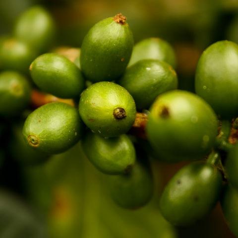 Grüne Früchte der Kaffeepflanze, Kolumbien
