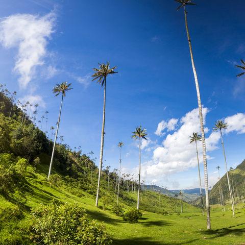 Wie ein Zwerg fühlt man sich zwischen den riesigen Wachspalmen im Cocora Tal, Salento, Kolumbien