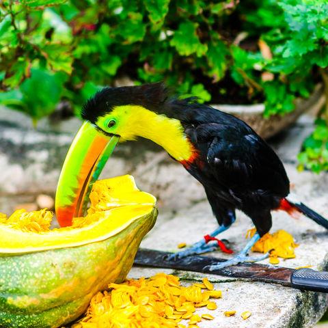 Tukan isst einen Kürbis, Kolumbien