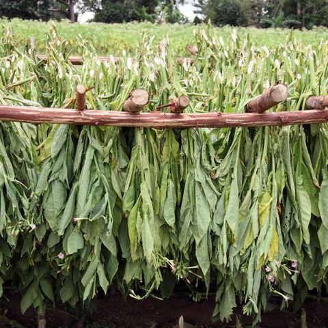 Trocknende Tabak-Blätter auf einer Farm, Kuba