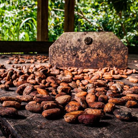 Kakaobohnen beim Trocknen zusehen, Baracoa, Kuba