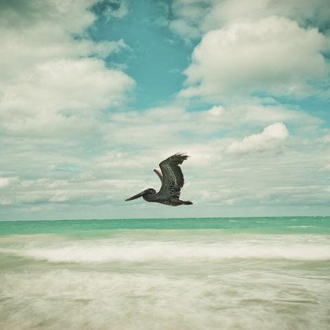 Pelikan über dem Meer, Kuba