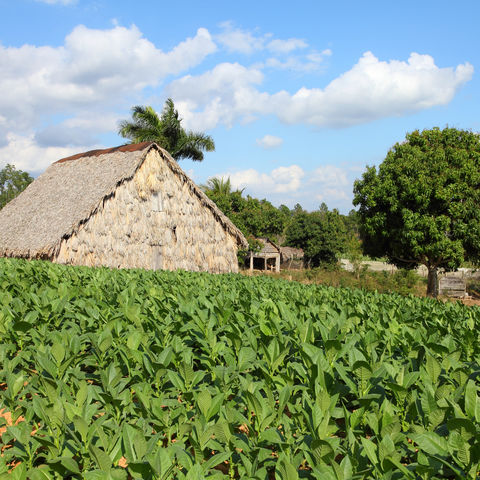 Tabak-Plantage, Kuba