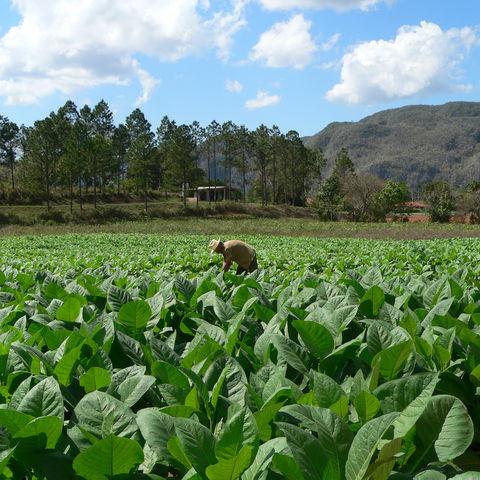 Arbeit auf der Tabak-Plantage, Kuba