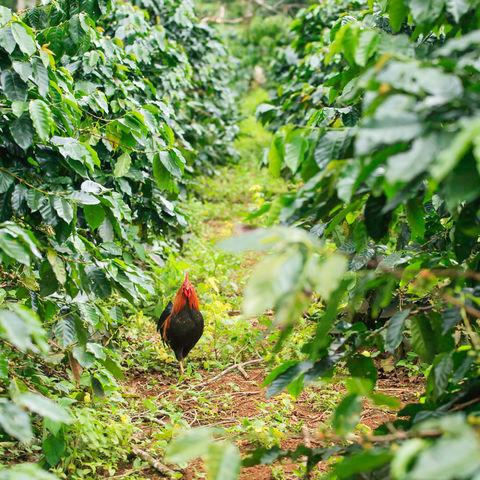 Da lässt es sich gut durchstolzieren: Kaffeeplantage, Champasak, Laos