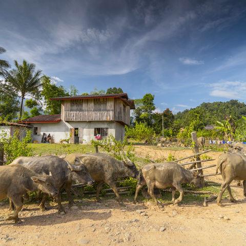 Wasserbüffel in einem Dorf der Hmong, Laos