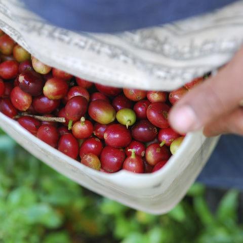 Ernte der reifen Kaffeebohnen, Laos