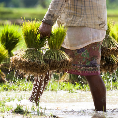 Feldarbeit, Laos