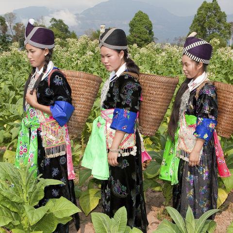 Hmong bei der Tabakernte, Laos