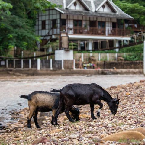 Ziegen auf der Sandbank der Muang La Lodge, Laos
