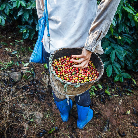 Kaffeebaum mit reifen Kaffeebohnen auf Plantage, Laos