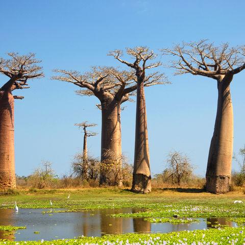 Einige Baobab Bäume, Madagaskar