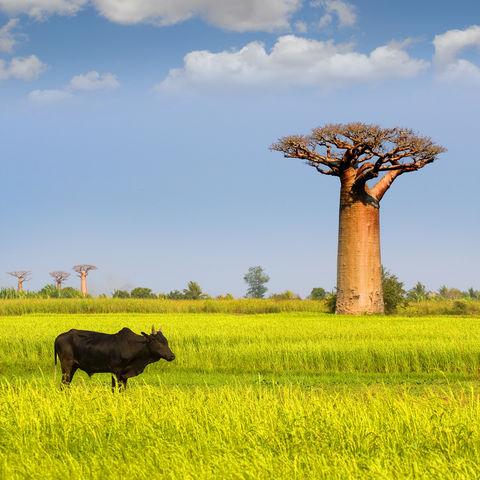 Kontrastreiche Landschaften mit beeindruckenden Baobab Bäumen, Madagaskar