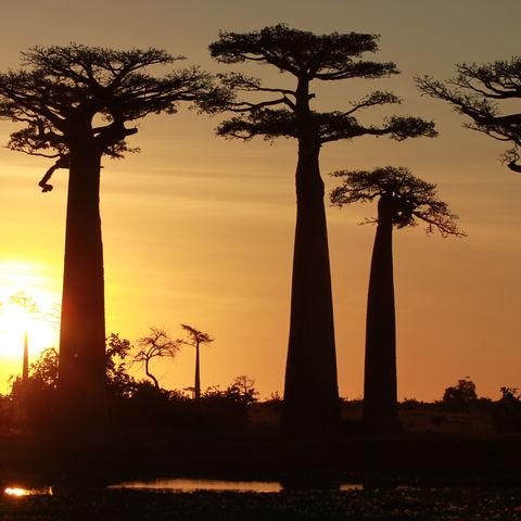 Baobabs bei Sonnenuntergang, Madagaskar