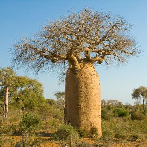 Flaschenartig geformter Baobabbaum, Madagaskar