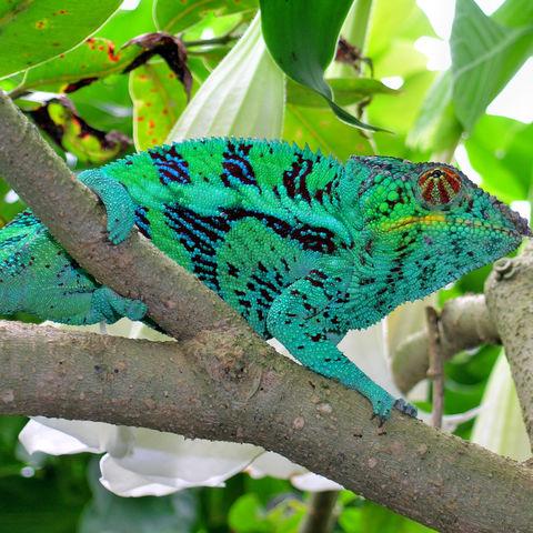Farbenprächtiges Chamäleon, Madagaskar