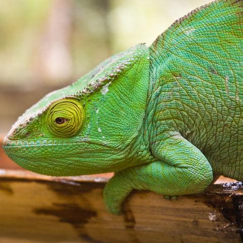 Grünes Chamäleon, Madagaskar