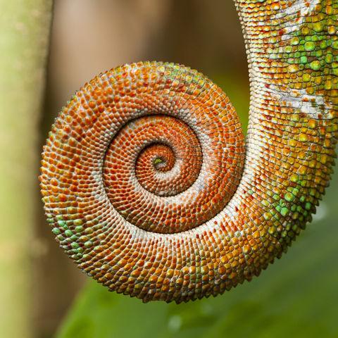 Nahaufnahme eines Chamäleon-Schwanzes in Spiralform, Madagaskar