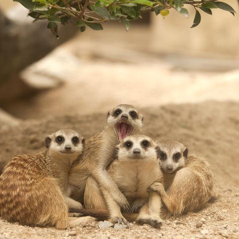 Drollige Erdmännchen, Madagaskar