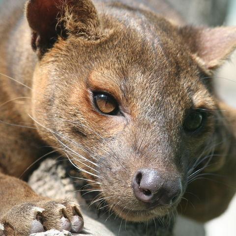Gesicht eines Fossa, Madagaskar
