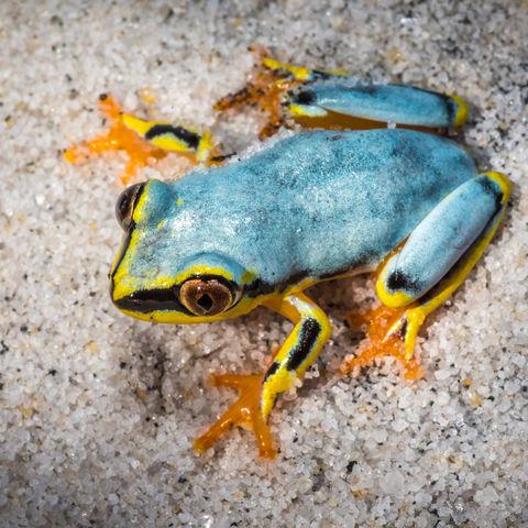 Bunter Frosch, Madagaskar