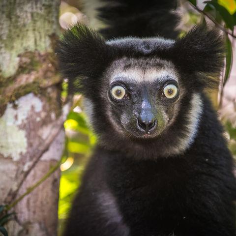 Ein Indri Lemur, Madagaskar