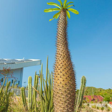 Heimat eines besonders großen Kaktus-Exemplars: Madagaskar Palme, Madagaskar