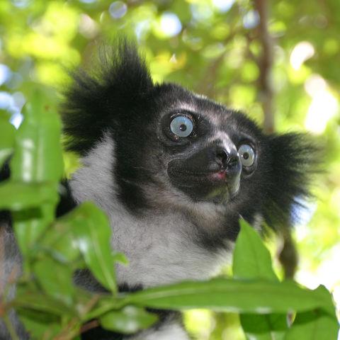 Der Indri-Indri, Madagaskar