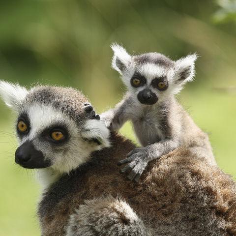 Katta-Lemuren, Madagaskar