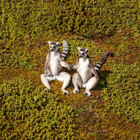 Lemuren Pärchen © Denboma, Dreamstime.com