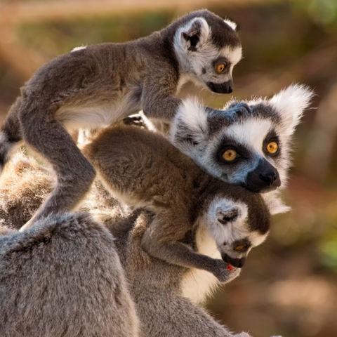 Nur auf Madasgakar bekommen Sie eine Lemurenfamilie zu Gesicht, Madagaskar