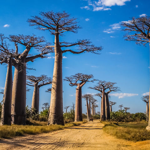 Zauberhafte Baobab-Allee, Madagaskar
