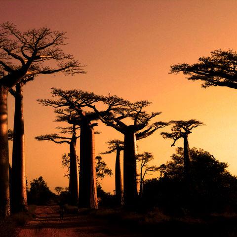 Atmosphärischer Sonnenuntergang an der Baobab Allee, Madagaskar